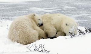 Spiace medvede